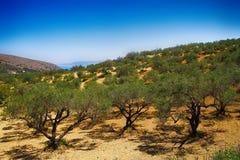 Оливковые дерева стоковое фото