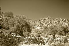 Оливковые дерева стоковая фотография