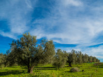 Оливковые дерева Стоковые Изображения RF