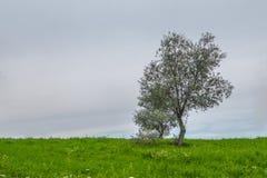 Оливковые дерева Стоковое фото RF
