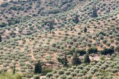 Оливковые дерева Mycenae Греция Стоковые Фотографии RF