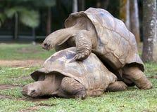 2 одина другого больших черепах Сейшельских островов сочувствуя Маврикий Стоковая Фотография RF