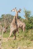 2 одина другого южно-африканских жирафа воюя Стоковые Изображения