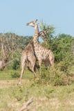 2 одина другого южно-африканских жирафа трудных Стоковые Изображения