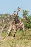 2 одина другого южно-африканских жирафа wrestling Стоковые Фотографии RF