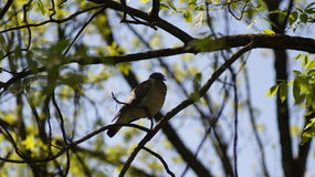 Одинокий голубь Стоковые Фотографии RF