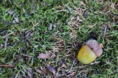 Одинокий жолудь Стоковое фото RF