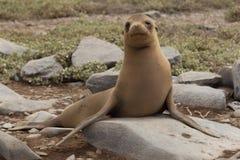 Одинокий щенок морсого льва, Галапагос Стоковое Изображение RF