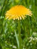 Одиночная вертикаль конца-вверх макроса цветения одуванчика Стоковое Изображение