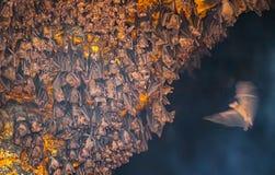 Одиночная летучая мышь приезжает для того чтобы соединить колонию на виске Goa Lawah Стоковое Фото