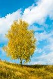 Одиночная листва дерева березы золотая осени Стоковые Изображения