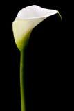 Одиночная лилия calla Стоковое Изображение