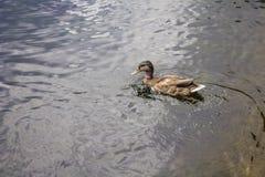 Одиночная коричневая утка в воде Стоковое Изображение RF
