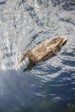 Одиночная коричневая утка в воде Стоковое Фото