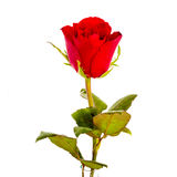 Одиночная красивая красная роза изолированная на белизне Стоковое Фото
