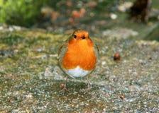 Одиночная мужская птица робина Стоковая Фотография