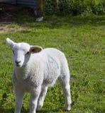Одиночная овечка весны Стоковая Фотография RF