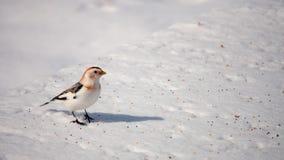 Одиночная овсянка снега Стоковые Фотографии RF