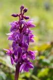 Одиночная орхидея предыдущего пурпура, mascula Orchis Стоковые Изображения RF