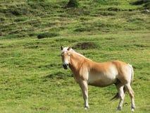 Одиночная лошадь в высокогорном выгоне Доломиты Sesto, южный Тироль, Италия стоковая фотография