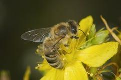 Одиночная пчела на желтом цветке Стоковая Фотография
