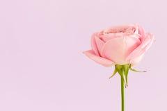 Одиночная роза пинка на свете - фиолетовой предпосылке Стоковое Изображение RF