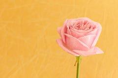 Одиночная роза пинка с падениями воды Стоковые Изображения