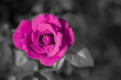 Одиночная роза пинка с предпосылкой b&w Стоковая Фотография RF