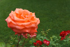 Одиночная свежая роза апельсина на кусте Стоковая Фотография