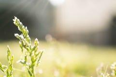 Одиночная трава Стоковые Фотографии RF