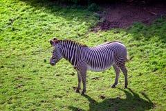 Одиночная черно-белая зебра Стоковая Фотография