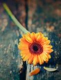 Одиночная желтая маргаритка gerbera Стоковые Изображения RF