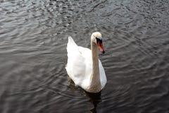 Одиночное белое заплывание лебедя в озере Стоковые Фото