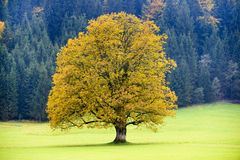 Одиночное большое старое дерево клена Стоковая Фотография