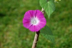 Одиночное глубокое - розовый цветок славы утра (pur ипомея Стоковое Изображение