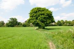 Одиночное дерево в поле в солнечности лета Стоковое Изображение