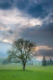 Одиночное дерево на туманном лужке Стоковая Фотография RF