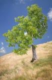 Одиночное дерево на холме стоковое фото rf