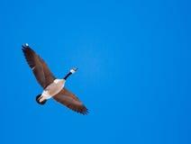Одиночное летание гусыни Канады надземное Стоковые Изображения