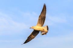 Одиночное летание чайки с ясной предпосылкой неба Стоковые Фотографии RF