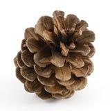 Одиночное Pinecone Стоковые Фотографии RF