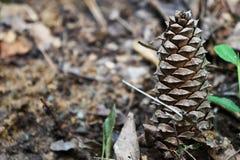 Одиночное Pinecone Стоковое фото RF