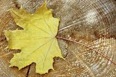 Одиночные лист дерева клена сухие Стоковые Изображения RF