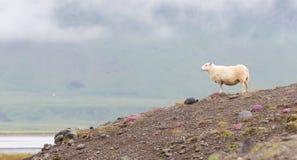Одиночные исландские овцы Стоковые Изображения