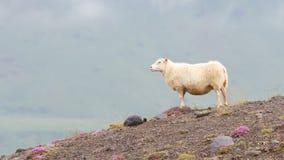 Одиночные исландские овцы Стоковая Фотография RF