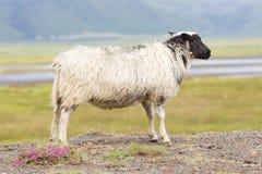 Одиночные исландские овцы Стоковые Изображения RF