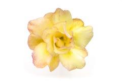 Одиночные цветки азалии на белой предпосылке Стоковая Фотография