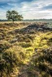 Одиночные Horned овцы в вересковой пустоши Стоковая Фотография RF