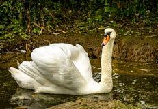Одиночный безгласный лебедь Стоковое Изображение