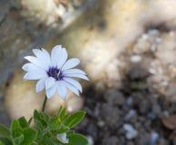 Одиночный белый цветок сада Стоковая Фотография RF